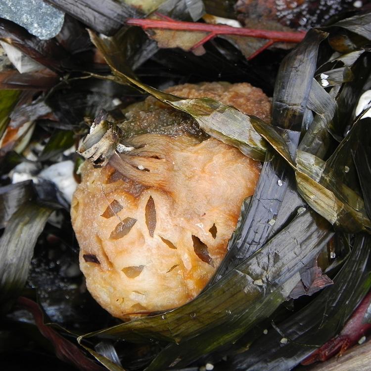 Perforated Bull Kelp Bladder